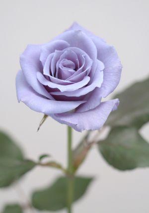 Florigene_blue_rose