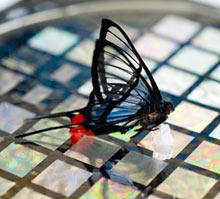 Butterfly_x220