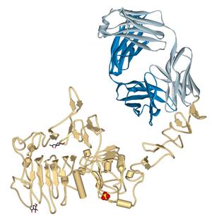 571px-Trastuzumab_Fab-HER2_complex_1N8Z
