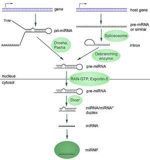 566px-MiRNA-biogenesis