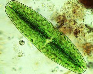 Algae-ed01