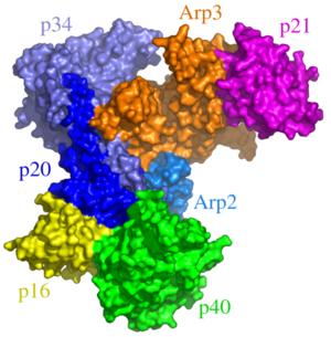 590px-Arp2_3_complex