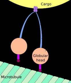 248px-Cytoplasmic_dynein.svg