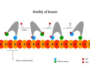 794px-Motility_of_kinesin_en