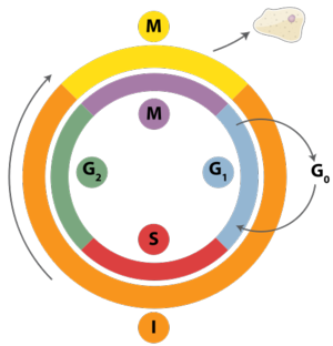 482px-Cell_Cycle_2.svg