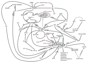 800px-MTOR-pathway-v1.7.svg