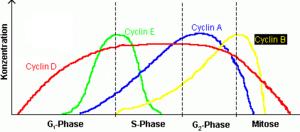 Cyclinexpression_waehrend_Zellzyklus