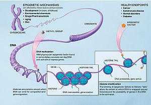 300px-Epigenetic_mechanisms