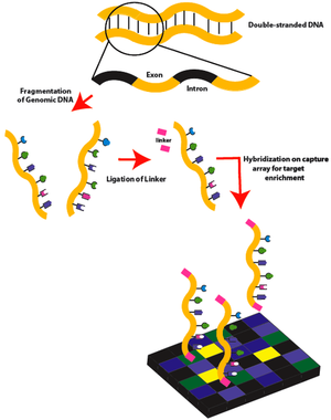 474px-Exome_Sequencing_Workflow_1a