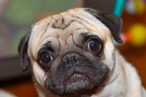 957586-pug-wandering-with-eyes-wide-open