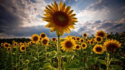 Sun-flower-beautiful-flower-nature-skies-sun-flower-sun-flowers