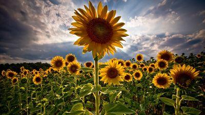 Sun-flower-beautiful-flower-nature-skies-sun-flower-sun-flowers