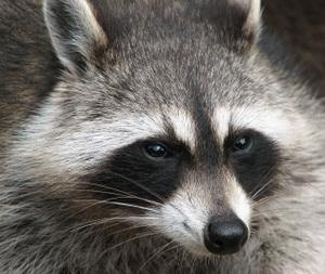Raccoon_procyon_lotor_2
